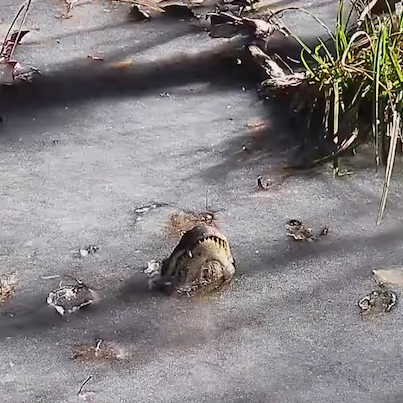 Alligators Cheat Death By Letting Themselves Freeze To Survive Winter ❄️🐊😱