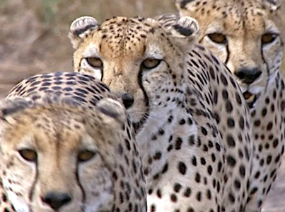 Three Cheetahs vs One Ostrich 😅😅