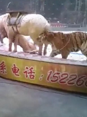 Tigers Get Ahold Of Horse At The Circus In Stunt Gone Wrong 😱😱😱