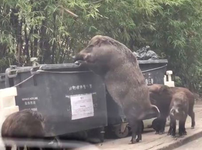 Huge Wild Boar Nicknamed 'PigZilla' Spotted in Hong Kong
