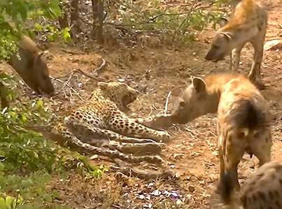 Injured Leopard In South Africa Gets Bullied By A Clan Of Hyenas 😭😭😭