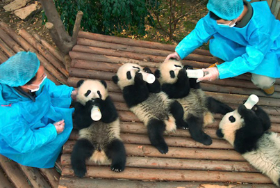 PANDAS (Narrated by Kristen Bell) (Official Documentary Trailer) 🐼🤗🙂
