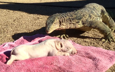 Nature Is Savage: Massive Lizard Swallows A Baby Piglet Whole 😲😲😲