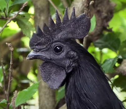 This Rare Chicken Is Totally Black From Head To Toe 🐓🐔