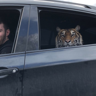 Tiger Riding Dirty In A Car In Russia 😳🐯🇷🇺