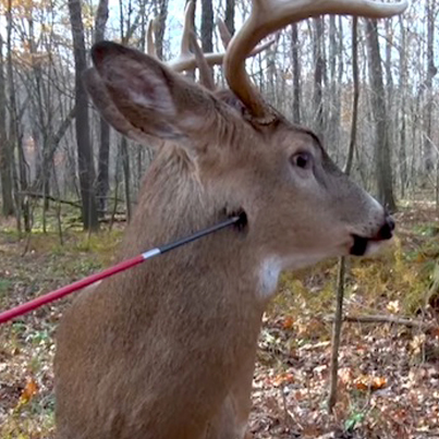 Buck Does The Mannequin Challenge When A Bow Hunter Catches Him By Surprise 😱