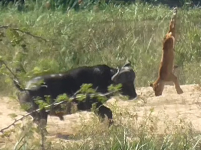Buffalo Launches Lion Into Air To Save Lizard 😢😭