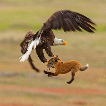 Eagle Snatches A Rabbit Out Of Foxes Mouth 😱😱😱