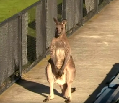 Meanwhile In Australia: Kangaroo Invades Soccer Field During Match 😂😂😂