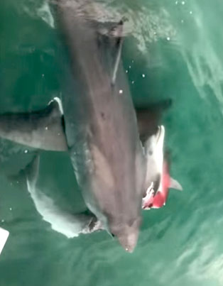Dolphin Gets Mauled By 2 Sharks 😨😨😨