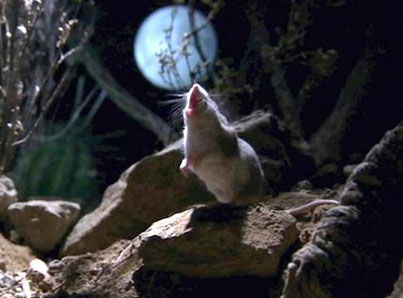 The Grasshopper Mouse Is A Killer Howling Rodent 🙋🔫