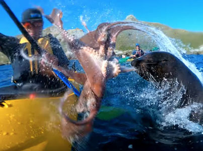 Seal Slaps The Shxt Out Of A Kayaker With An Octopus 😅😅