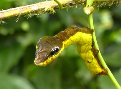 Caterpillar Transforms Itself Into A Snake When Scared 🐛🔄🐍