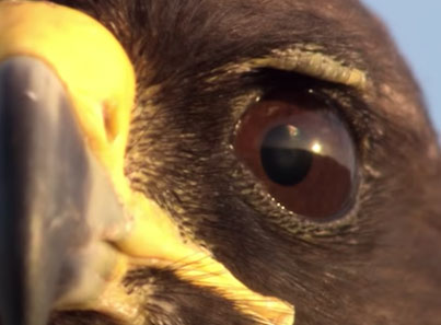 Death From Above 😥😱 Hawk Hunts Marine Iguanas On BBC Earth 😕😕😕