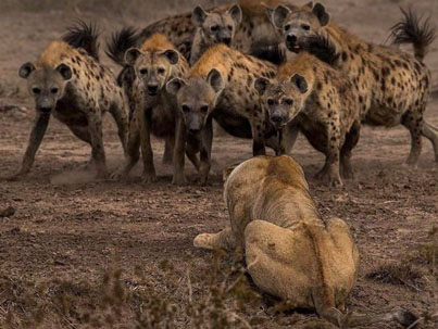 Incredible BBC Earth Footage Of A Lion Facing Off With Over 20 Hyenas 😅🦁💥🔴👑