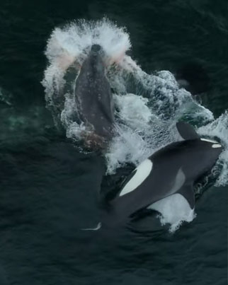 Drone Captures Five Killer Whales Attacking & Killing A Gray Whale 😱👀🔴👑