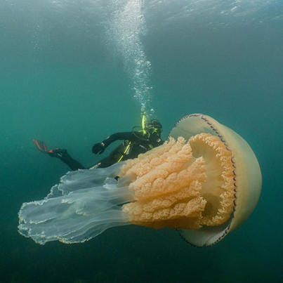 Giant Jellyfish The Size Of A Human Spotted By Divers Off English Coast 😳😳😳