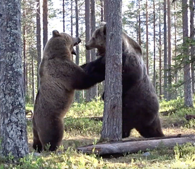 Little Guy Had His Nose F'd Up: Guy Captures A Wild Bear Fight