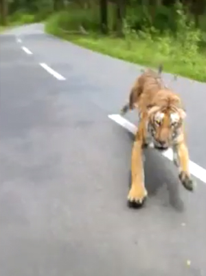 Indian Man Riding A Bike Almost Gets Merked By A Tiger 😱😱😱
