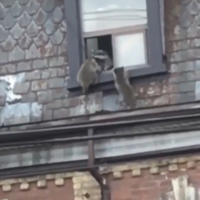 A Family Of Raccoons Was Seen Moving Into A Toronto Apartment 😳😳😳