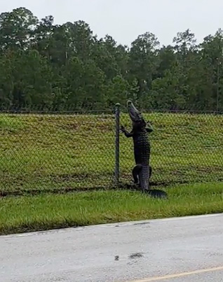 So Did Anyone Else Know That Alligators Can Climb Fences? 🐊😳😨🔴👑